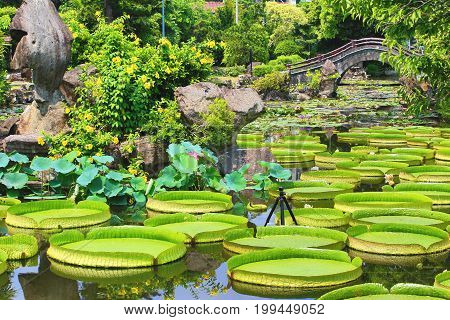 Beautiful garden scenery with lotus flowers,santa cruz waterlily flowers and leaves blooming in the pond in summer