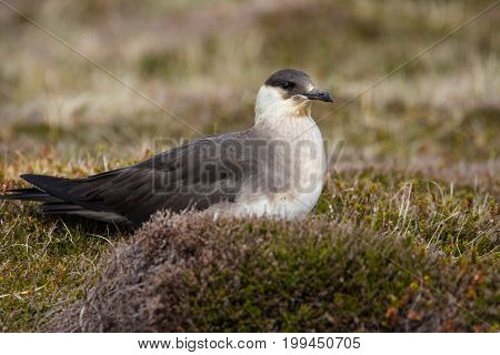 Close up of an Arctic Skua (Stercorarius parasiticus) sitting on the close cropped vegetation Orkney UK