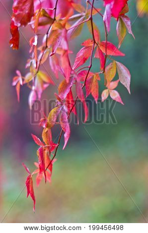 Colorful red autumn leaves hanging from a tree in Topcider park, Belgrade, Serbia
