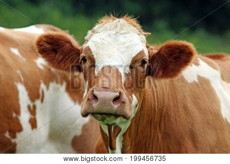 brown and white cow Simmental cattle looking into camera close-up