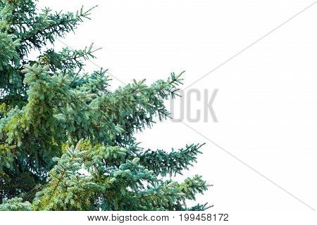 Part of blue spruce tree isolated on white background with copy space for your text