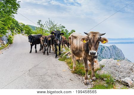 Cows On Mountain Road.