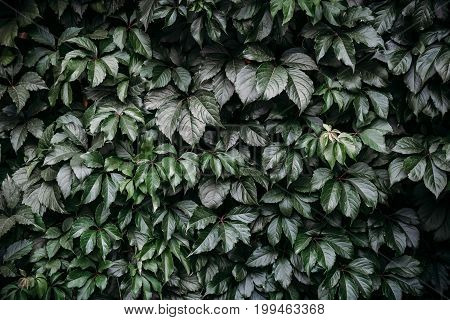 Dark green leaf wall, abstract background, pattern, toned