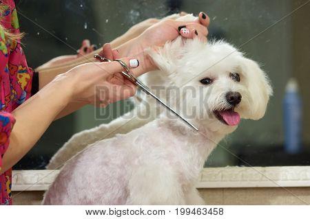 Dog grooming, white maltese. Hands of groomer with scissors.