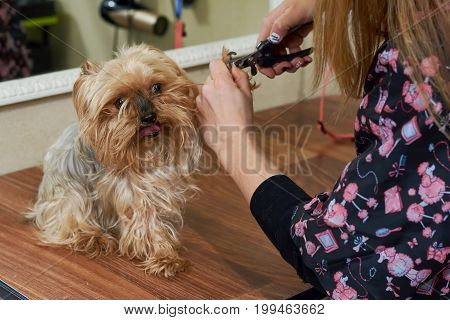 Dog groomer using nail clippers. Cute yorkshire terrier.