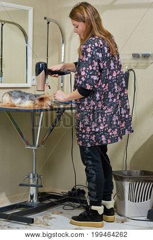 Dog groomer using blow dryer. York terrier, grooming salon.