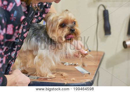 Yorkshire terrier at the groomer. Dog grooming, hand with scissors.