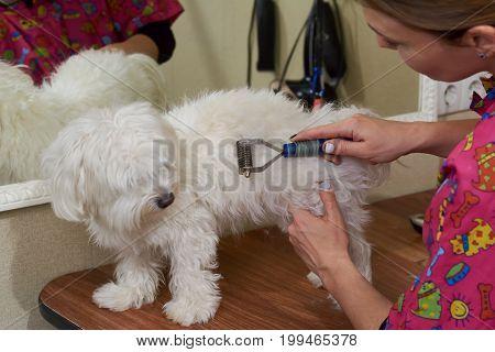 Dog groomer using undercoat rake. Maltese being groomed in salon.
