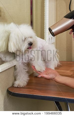 Cute dog getting fur dried. White maltese, grooming salon.