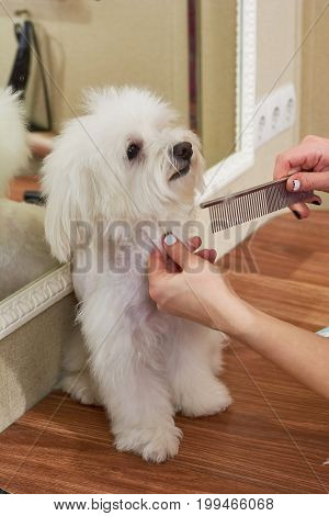 Hands with comb, little dog. White maltese being groomed.
