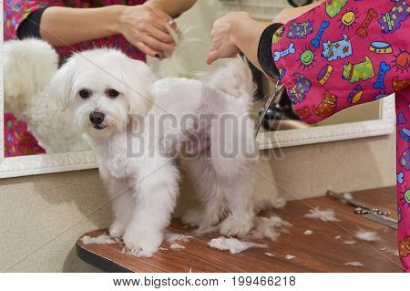 Cute white maltese being groomed. Hands with scissors, dog haircut.