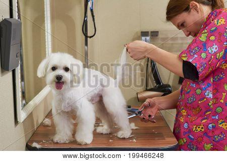Maltese getting haircut, female groomer. Woman with scissors cutting fur.