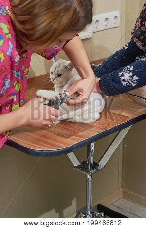 Woman using cat nail clippers. British shorthair white, pet salon.
