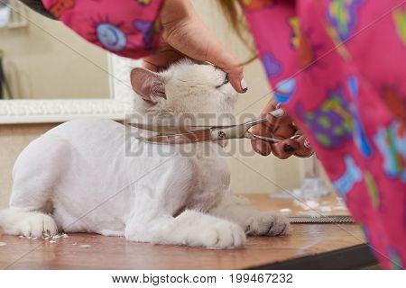 Cat getting haircut, scissors. British shorthair at the groomer. Creative cat grooming.