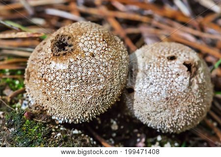 Edible mushroom Puffball spiny (Latin. Lycoperdon perlatum) during the ripening of the spores. Berdsk Novosibirsk oblast Siberia Russia August