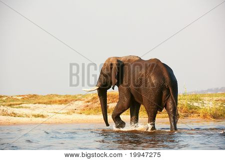Large African elephant (Loxodonta Africana) walking in the river in Botswana poster