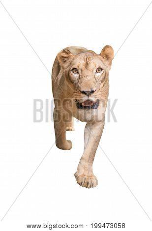 Female Lion Isolated