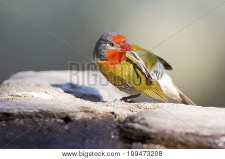 Male Melba Finch drinking water from rocks next to a pond