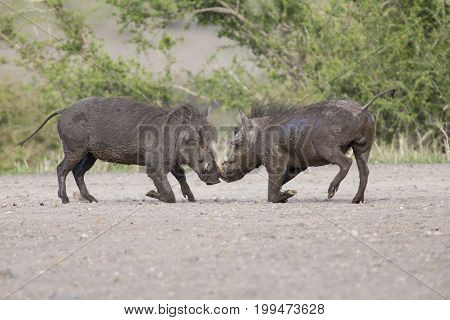 Two young warthogs fight at a small pond in a road
