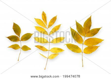 Autum season background, yellow rowan leaves isolated on white background with copy space.