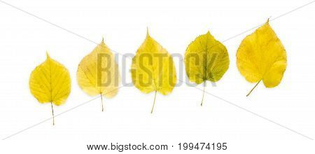 Autum season yellow leaves pattern isolated on white background with copy space.