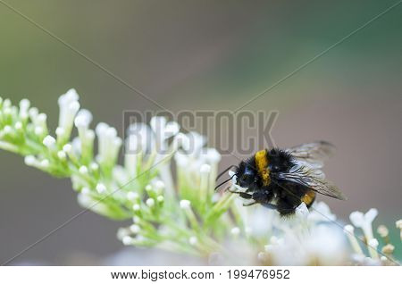 Close-up of a bumble-bee on a white flower. Shallow depth of field.