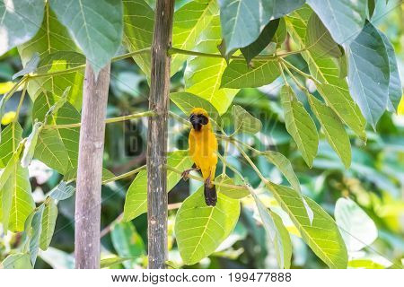 Asian Golden Weaver perched on a tree branch in nature.