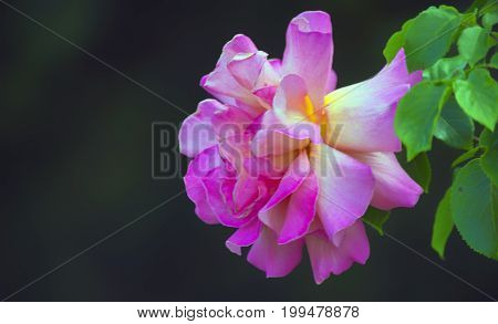 A large bush of roses green leaves and pink petals of a flower on a dark.