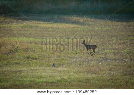 Roe deer running on a foggy field