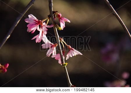Tiny pink flowers on branches with sunlight and dark blurred background