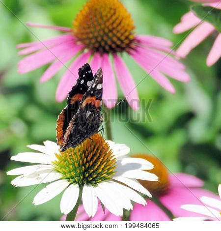 Red Admiral in garden on bank of the Lake Ontario in Toronto Canada August 8 2017