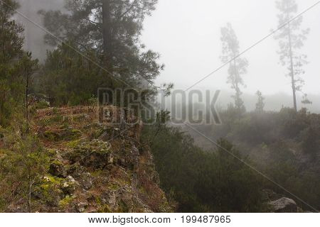 Pinus canariensis. Misty fog forest in Tenerife, Spain, winter weather