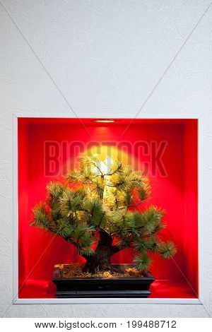 Pine bonsai tree in a red recessed wall