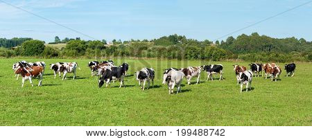 Milch cow grazing on green grass pasture over blue sky