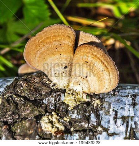 Inedible mushroom or colored Polypore Coriolus versicolor (lat. Trametes versicolor) on rotten wood of Birch. Berdsk Novosibirsk oblast Siberia Russia August
