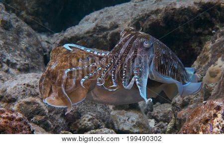 Mating Cuttlefish off the coast of Phuket