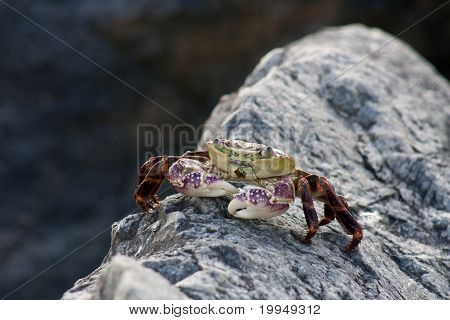 Purple Rock Crab -  Leptograpsus Variegatus