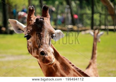 head of a giraffe looking at the camera