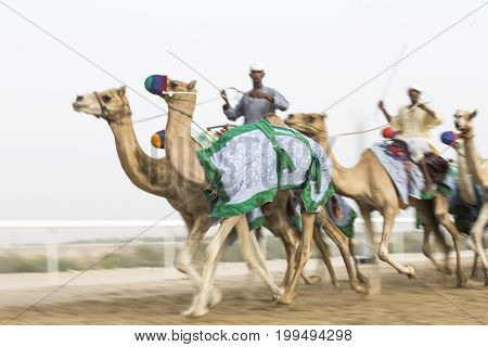blurred image of running camels at a camel track in a desert men training camels at a camel track in a desert