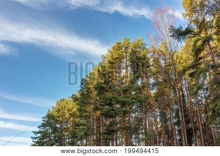 Crowns of trees in the forest on a sunny morning