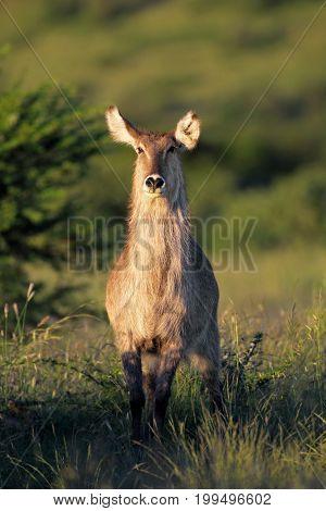Female waterbuck antelope (Kobus ellipsiprymnus) in natural habitat, South Africa
