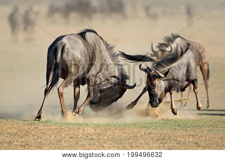 Two blue wildebeest Connochaetes taurinus) fighting for territory, Kalahari desert, South Africa