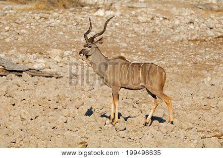 Male kudu antelope (Tragelaphus strepsiceros), Etosha National Park, Namibia
