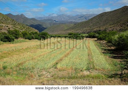 Rural landscape of farmland against a backdrop of mountains, Western Cape, South Africa