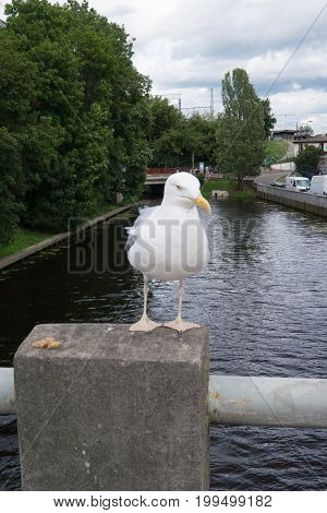 A silvery seagull posing for a photographer for a piece of bread.