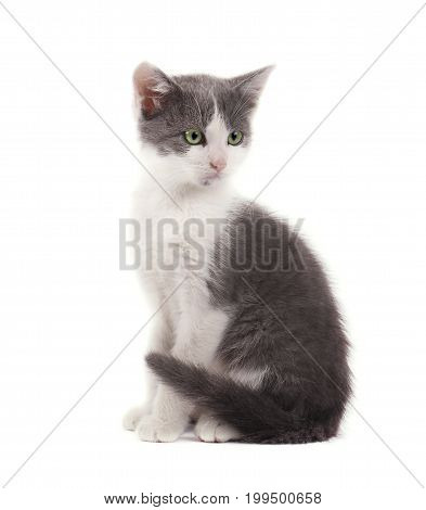Kitten cute gray colors isolated on white background