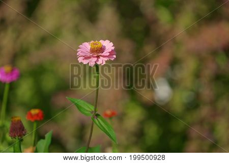 large pink flower-zinnia of the family Asteraceae on the bright blurred green background with flower spots and bokeh