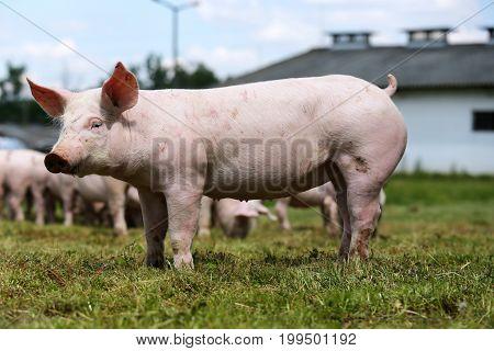 Piglets on the farm. Little piglets household. Lovely pets