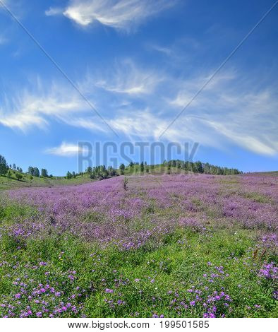 Picturesque mountain flowering meadow with lilac wildflowers and beautiful spindrift clouds on blue sky at bright summer day - admirable sunshine landscape of Altai mountains Russia