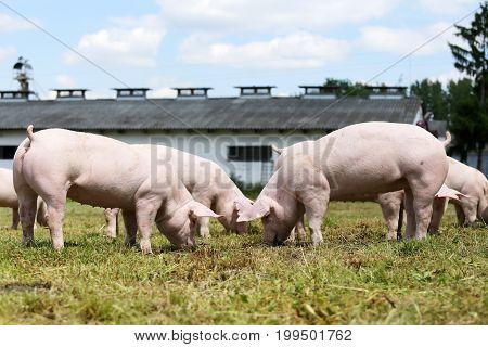 Herd of piglets on animal farm summetime. Little pigs piglets graze free on the farm summertime
